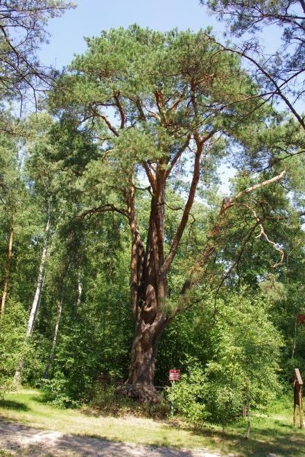 Najstarsza sosna w Polsce