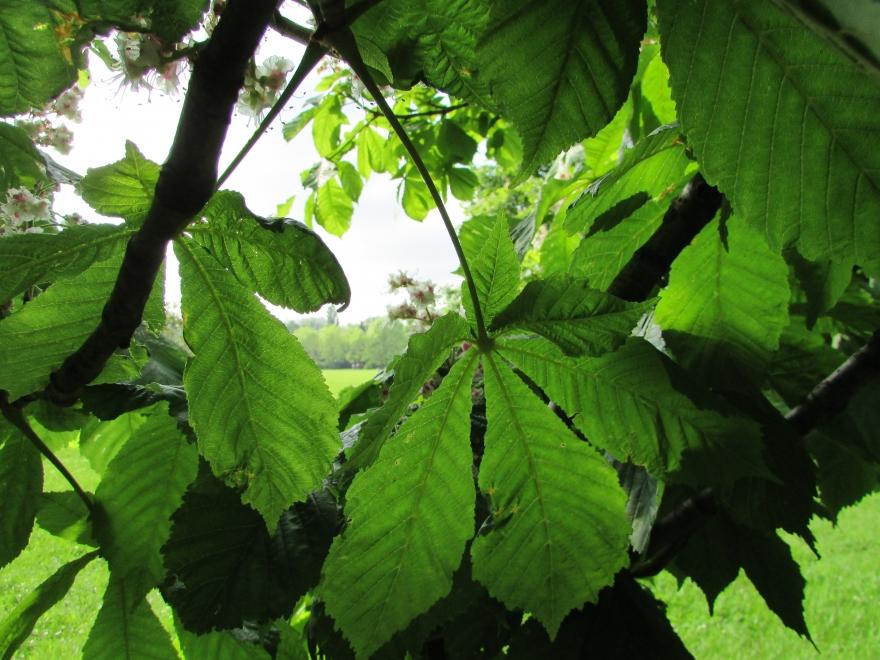 Kasztany-liście