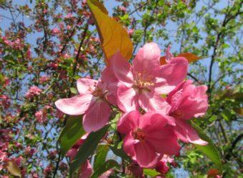 Rajska-jabłoń